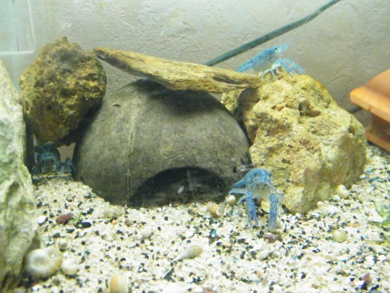 alleni - Procambarus alleni, l'Ecrevisse bleue de Floride Aout1140