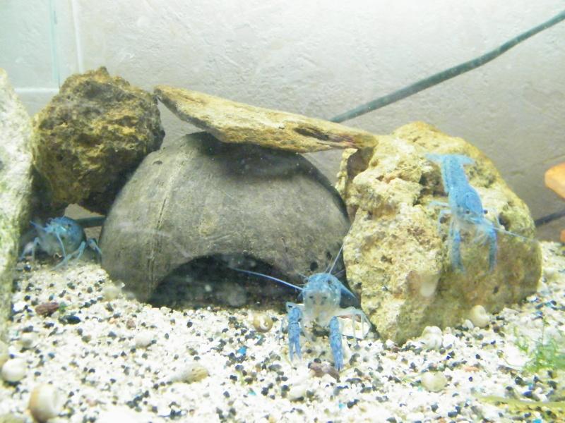 alleni - Procambarus alleni, l'Ecrevisse bleue de Floride Aout1141