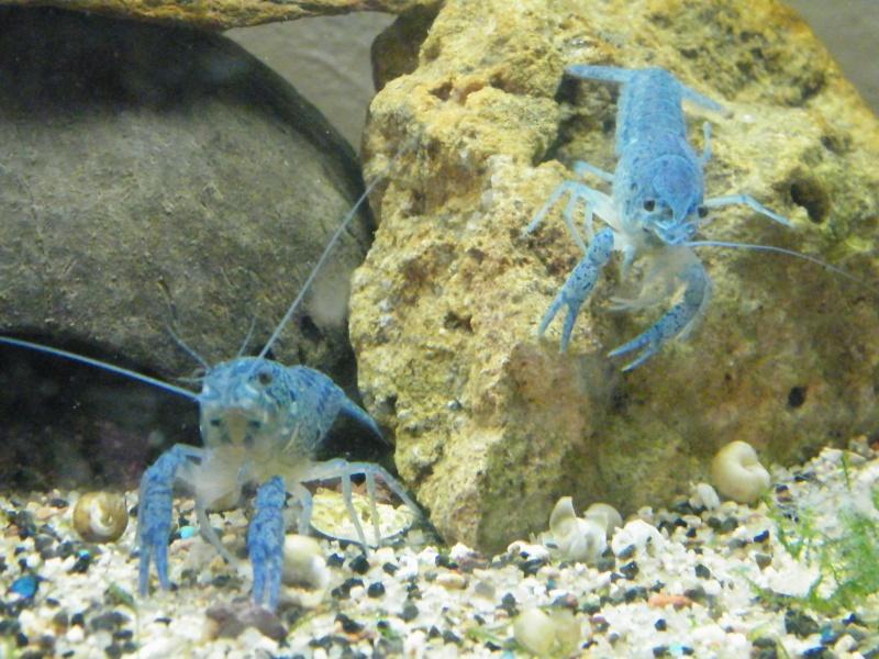 alleni - Procambarus alleni, l'Ecrevisse bleue de Floride Aout1142