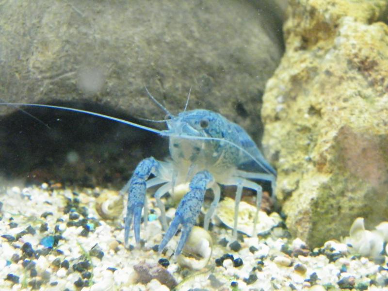 alleni - Procambarus alleni, l'Ecrevisse bleue de Floride Aout1143