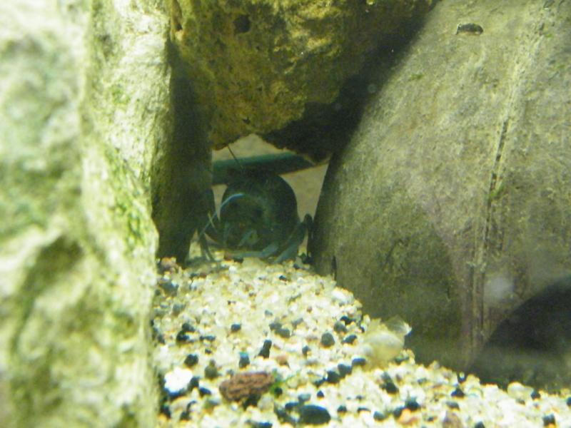 alleni - Procambarus alleni, l'Ecrevisse bleue de Floride Aout1144