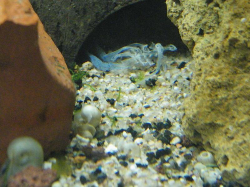 alleni - Procambarus alleni, l'Ecrevisse bleue de Floride Aout1145