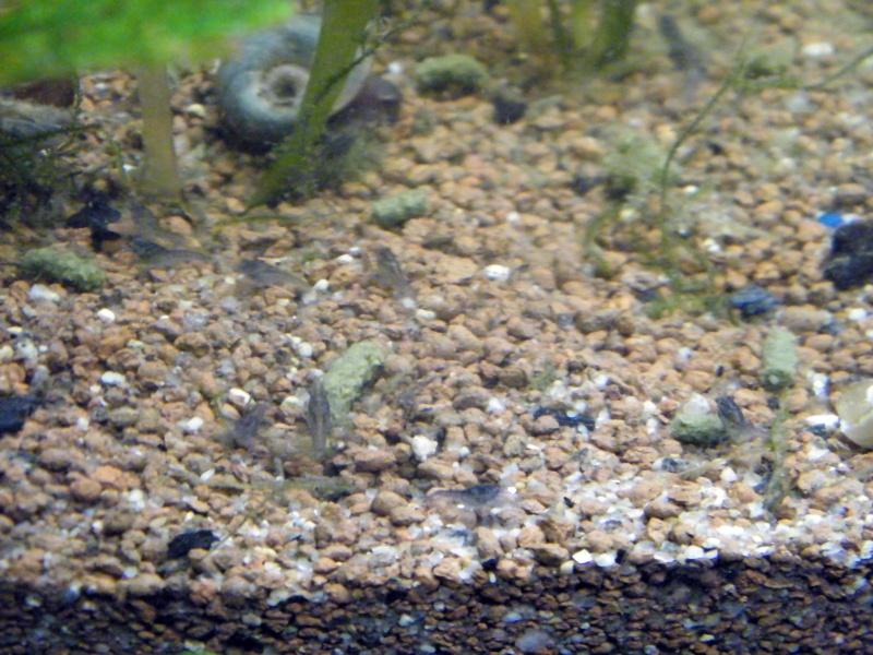 alleni - Procambarus alleni, l'Ecrevisse bleue de Floride - Page 3 Janvie10