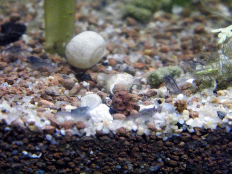 alleni - Procambarus alleni, l'Ecrevisse bleue de Floride - Page 3 Janvie11