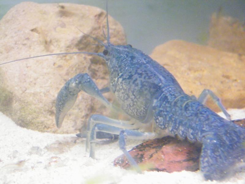 alleni - Procambarus alleni, l'Ecrevisse bleue de Floride Juille44