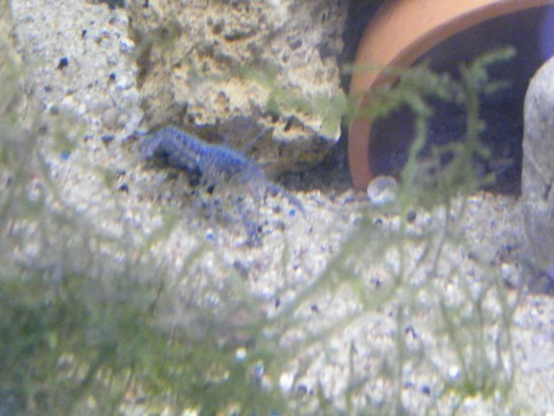 alleni - Procambarus alleni, l'Ecrevisse bleue de Floride Juille48