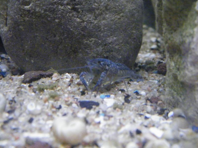 alleni - Procambarus alleni, l'Ecrevisse bleue de Floride Juille56