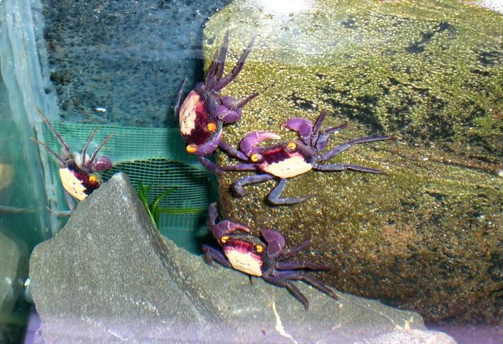 Crabe vampire, crabe mandarin Crabe_11