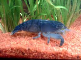 crevette bleue du Gabon Crevet13