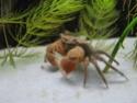 Crabe rouge des mangroves 00210