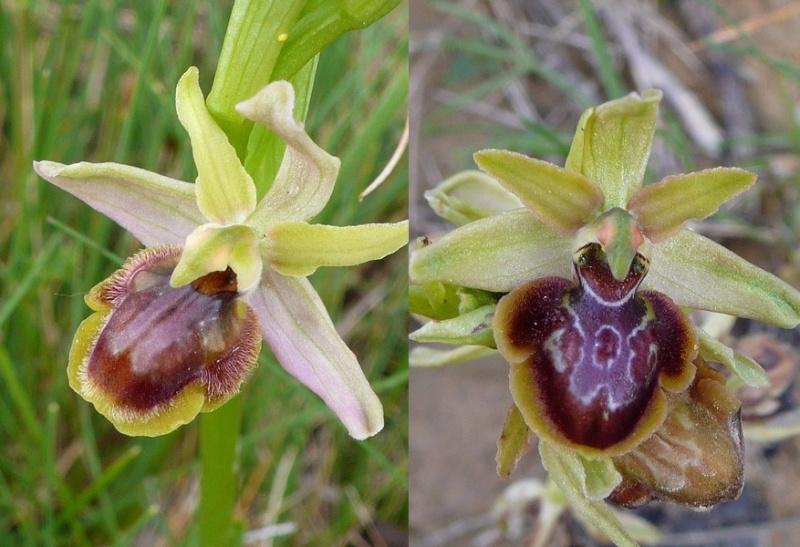 Ophrys riojana P1030610
