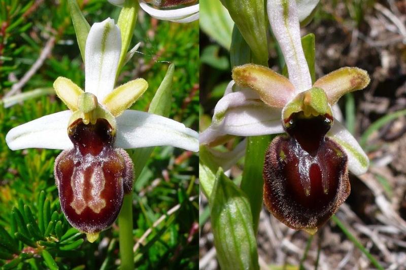 Ophrys riojana P1070211