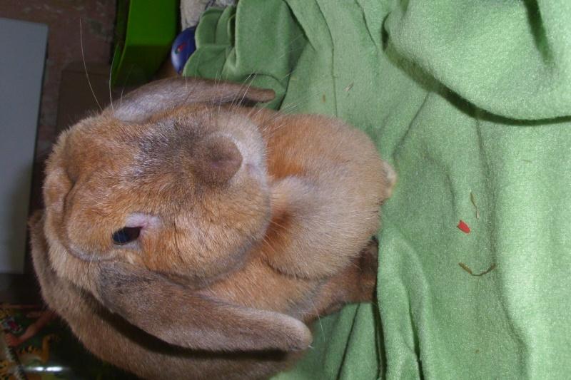 Kallie, lapine bélier née en 2008 Dsci0011