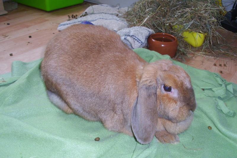 Kallie, lapine bélier née en 2008 Dsci0013