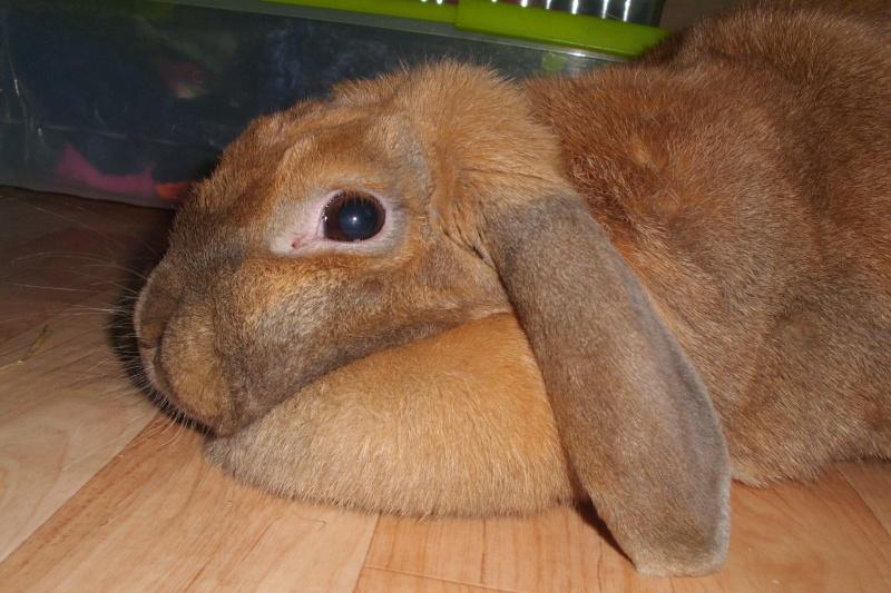 Kallie, lapine bélier née en 2008 - Page 2 Dsci0113