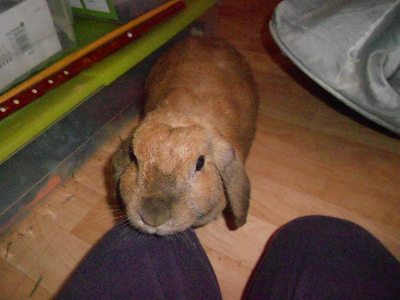 Kallie, lapine bélier née en 2008 Dscn1711
