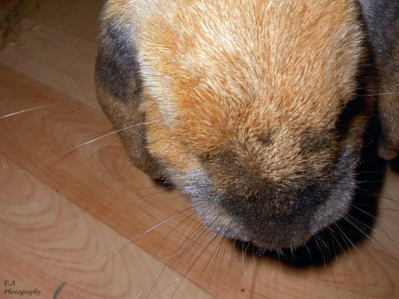 Kallie, lapine bélier née en 2008 - Page 5 Dscn4111