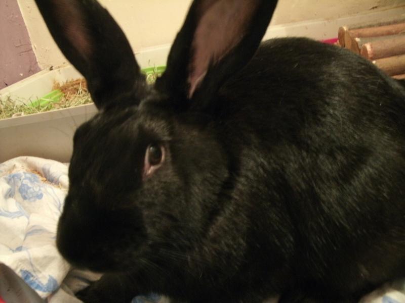 Edenne, belle lapine noire grand gabarit (association Poil de Carotte) 59 Gedc0345