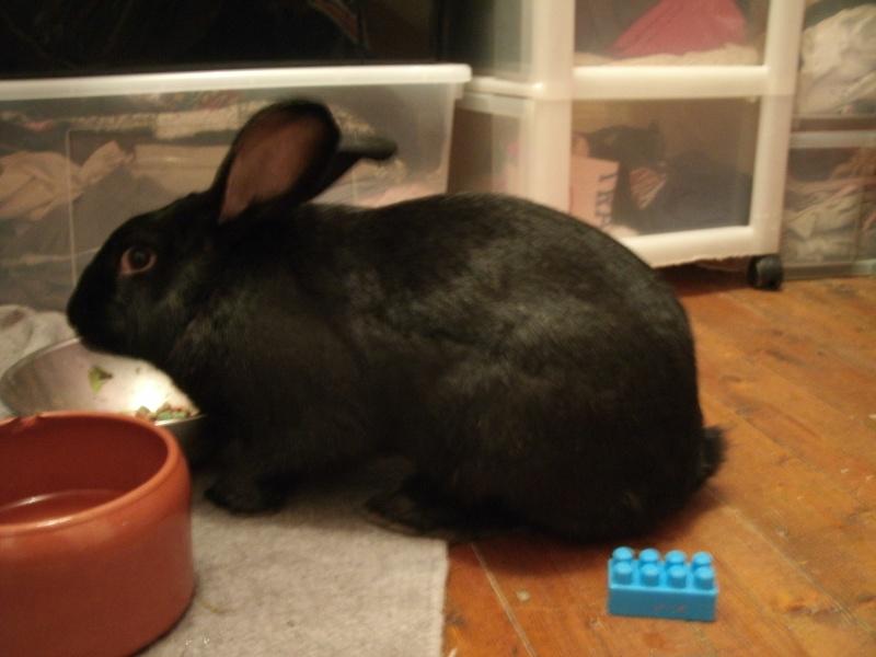 Edenne, belle lapine noire grand gabarit (association Poil de Carotte) 59 Gedc0346