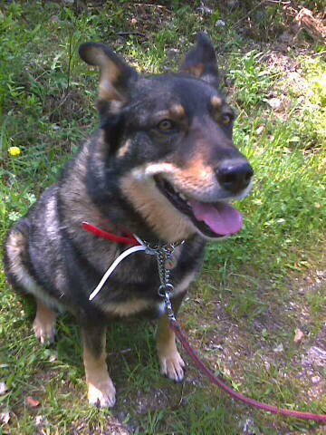 TWEETY berger X husky, née en juin 2001, sportive et joueu  (f ) REFU83 25028810
