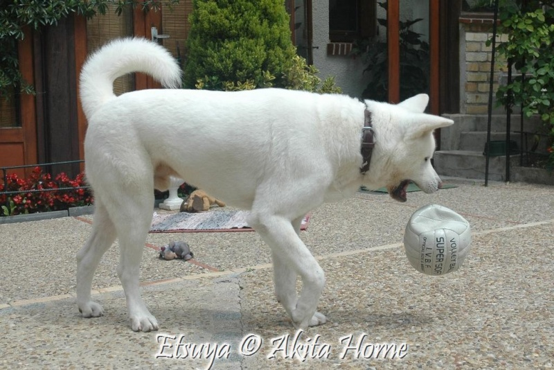 Etsuya, Akita inu 2 ans, ASSO Akita Home ADOPTE 29_06_10