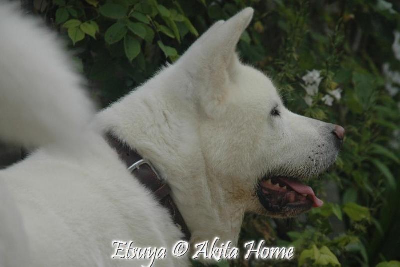 Etsuya, Akita inu 2 ans, ASSO Akita Home ADOPTE 29_06_13