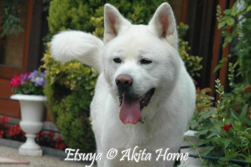 Etsuya, Akita inu 2 ans, ASSO Akita Home ADOPTE Etsuya10