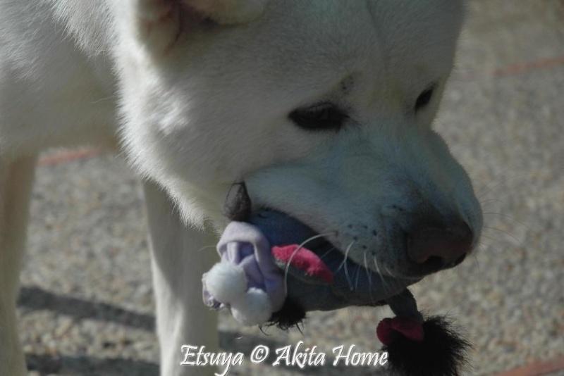 Etsuya, Akita inu 2 ans, ASSO Akita Home ADOPTE Etsuya15