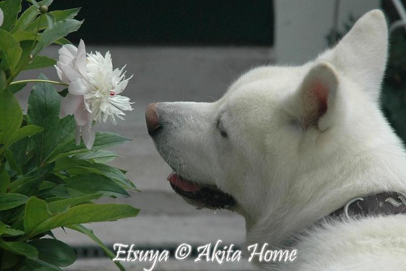 Un Akita à la maison : ) Etsuya16