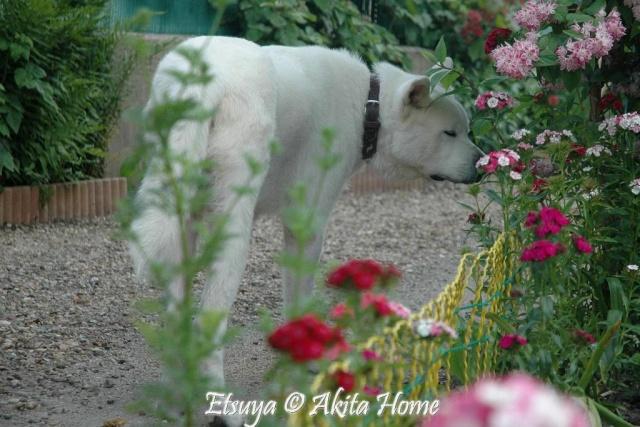 Un Akita à la maison : ) Etsuya17