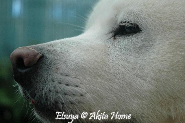 Un Akita à la maison : ) Etsuya19
