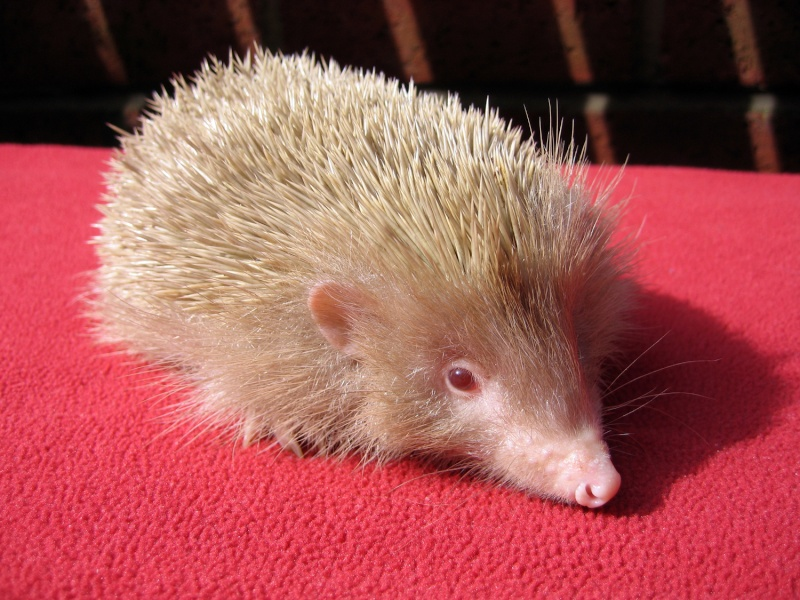 Photo of our rescued baby albino hedgehog Wickes11
