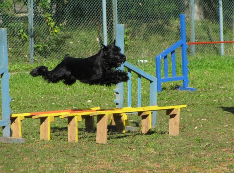Ebony Eddy's dogs - agility-video Liska_10