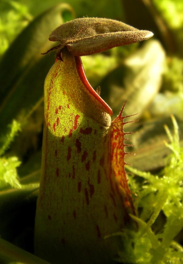 Quel nom donner pour cette Nepenthes Albomarginata ? Sany0011