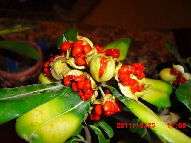 Pittosporum- un vert tendre  et une belle floraison 10_10