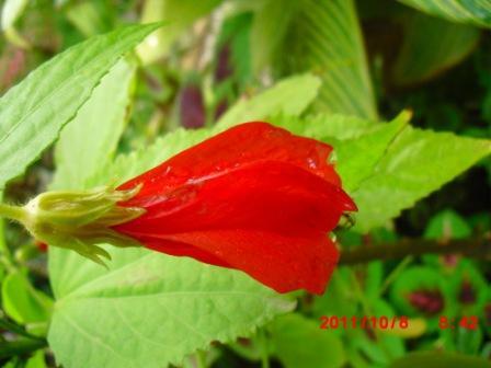 Hibiscus Arboréus 215
