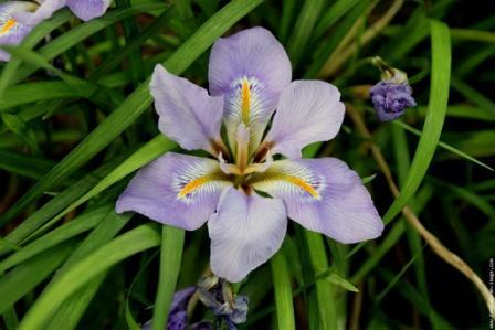 Les iris -culture, multiplication, entretien, variétés. Copie131