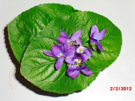 Les violettes - Page 5 Copie145