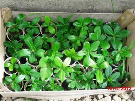 Pittosporum- un vert tendre  et une belle floraison Copie214