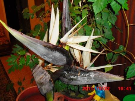 Strelitzia nicolai Copie226