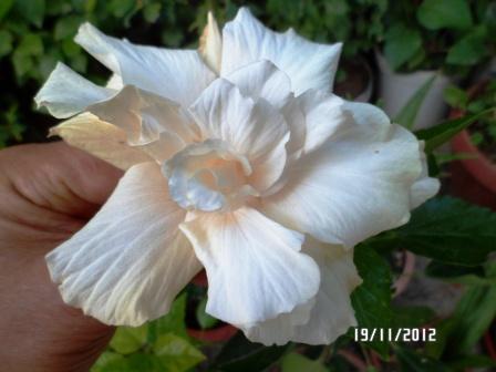 Mes hibiscus et moi...une longue histoire - Page 12 Copie311