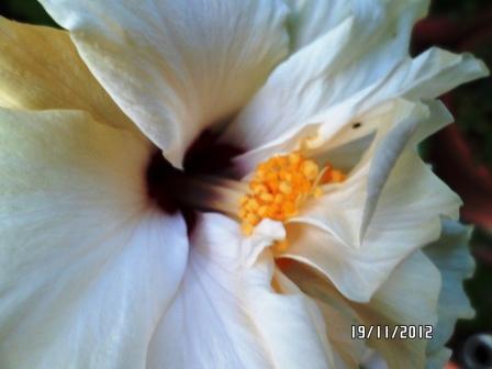 Mes hibiscus et moi...une longue histoire - Page 12 Copie312