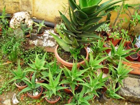 Marcottage sur mon vieil ...Aloes Copie_54