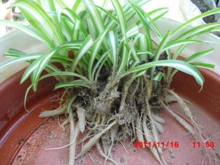 Chlorophytum ou plante araignée  Copie_78