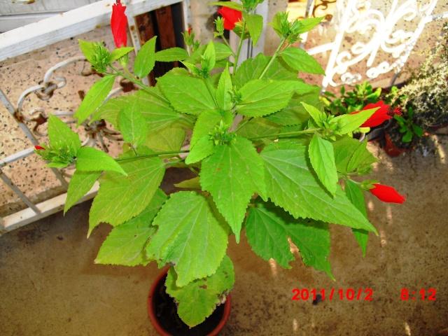 Hibiscus ou pas? H_111