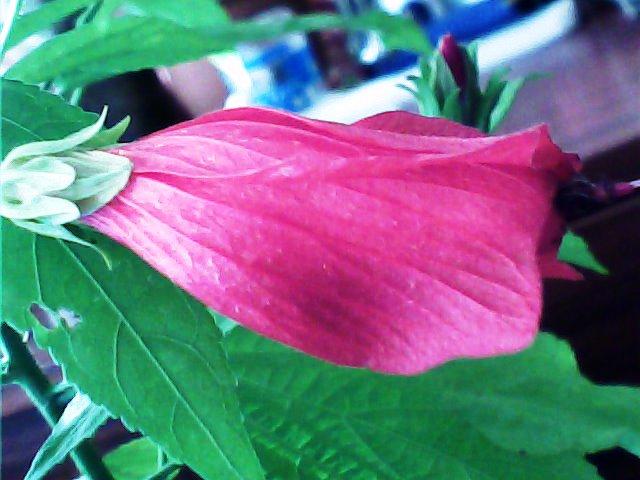 Hibiscus ou pas? H_910