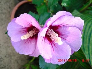 floraisons d'octobre - Page 5 Hibisc12