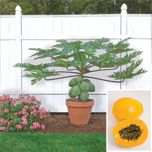 Carica papaya-la culture du papayer Papaye10
