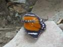 [Euphaedra eleus]papillon du Congo : nom ? Rapide10