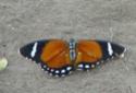 [Euphaedra eleus]papillon du Congo : nom ? Rapide11